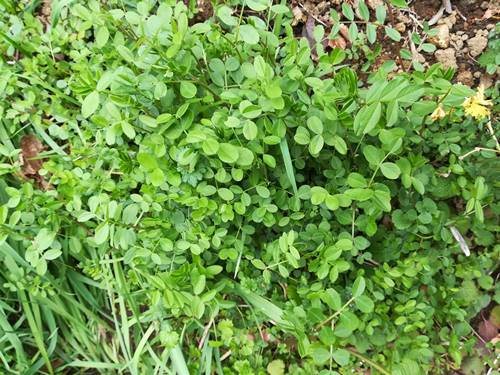 カラスノエンドウの葉の写真
