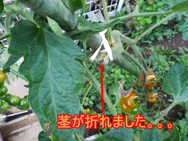 台風で折れたミニトマトの写真