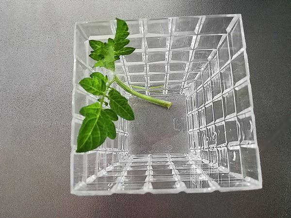 ミニトマトの脇芽を水に浸けた写真