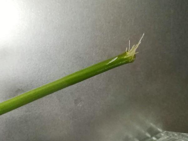 ミニトマトの脇芽から根が出てきたところ