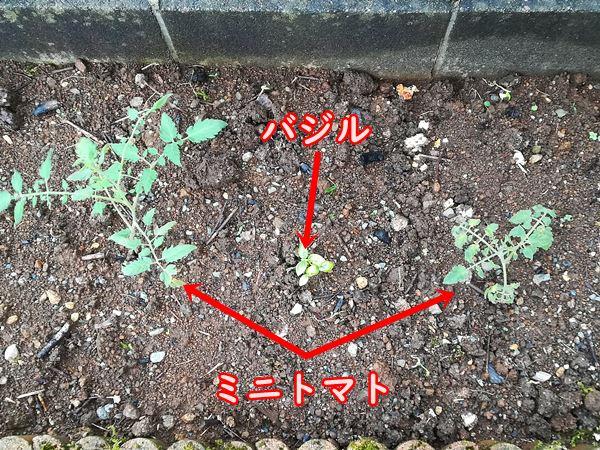 脇芽から増やした株を定植したところ